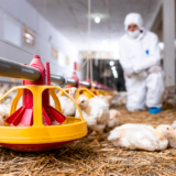 veterinarian-in-sterile-clothing-controlling-chicken-health-at-modern-poultry-farm